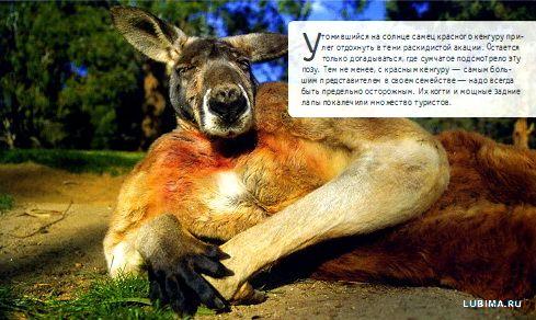 Человекоподобный кенгуру
